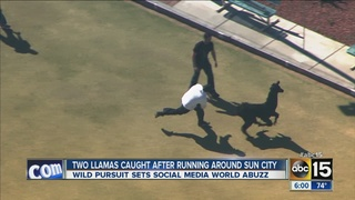Two_llamas_caught_after_running_around_S_2646220000_14051727_ver1.0_320_240